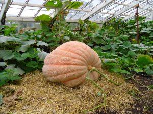 An 18 Stone Pumpkin at Powderham Castle